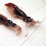 「ほたるいか素干」(浜浦水産)はワタごとすべて丸干しにしていて、干物でありながら塩辛のような味わい。衝撃的なうまさです。