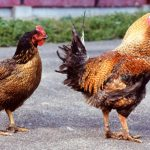 大山鶏、大山どり、大山地鶏、大山地どりは全部違うというややこしさ!誤解・虚偽だらけの大山(地)鶏について、ブロイラー、銘柄鶏、地鶏の違いと共に具体例を交えまとめてみました
